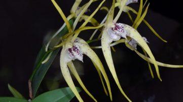 Dendrobium hybrid 'Hilda Poxon'