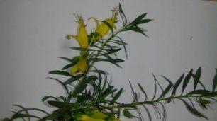Eremophila maculata 'aurea'