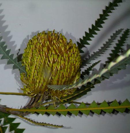Dryandra dryandroides