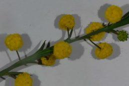 Acacia trigonophylla