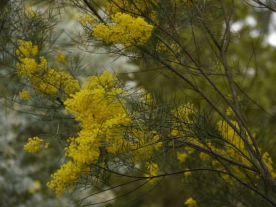 Acacia boormanii - Photo J. Lulham