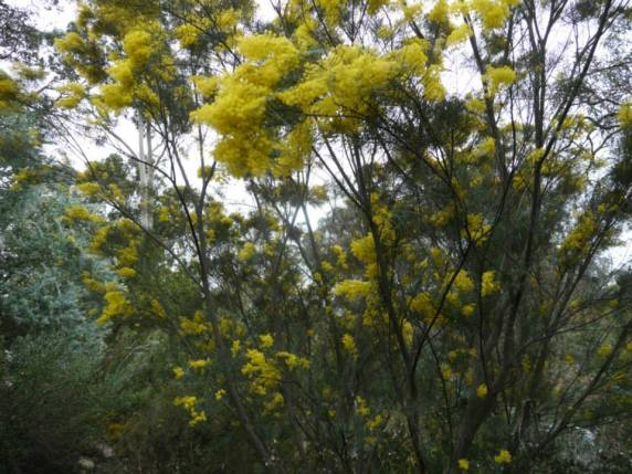 Acacia boormanii - Photo J. Lulham