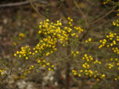 Acacia lasiocarpa - Photo J. Lulham