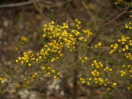 Acacia lasiocarpa - Photo J. Lulham