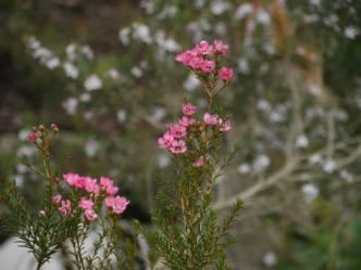 Chamelaucium 'Sarah's Delight' - Photo J. Lulham