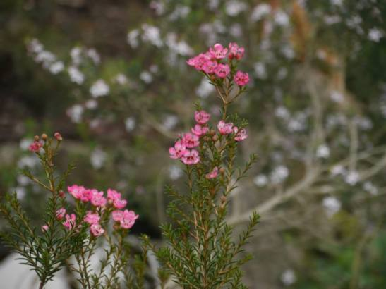 Chamelaucium 'Sarah's Delight' - Photo J. Lulham