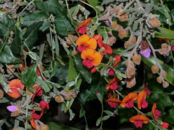 Chorizema varia - Photo J. Lulham