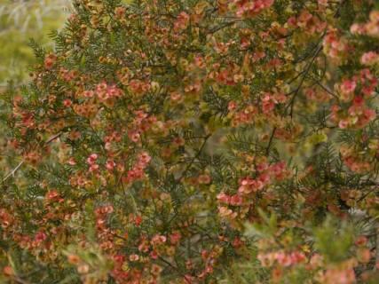Dodonea boroniifolia - Photo J. Lulham