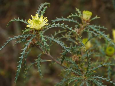 Dryandra polycephala - Photo J. Lulham