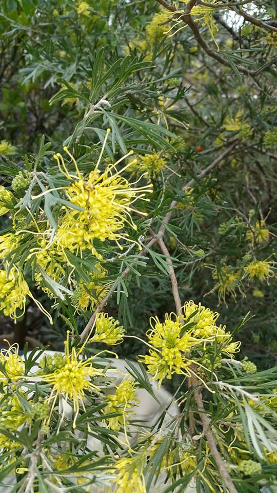 Grevillea 'Lemon Supreme' - Photo J. Lulham