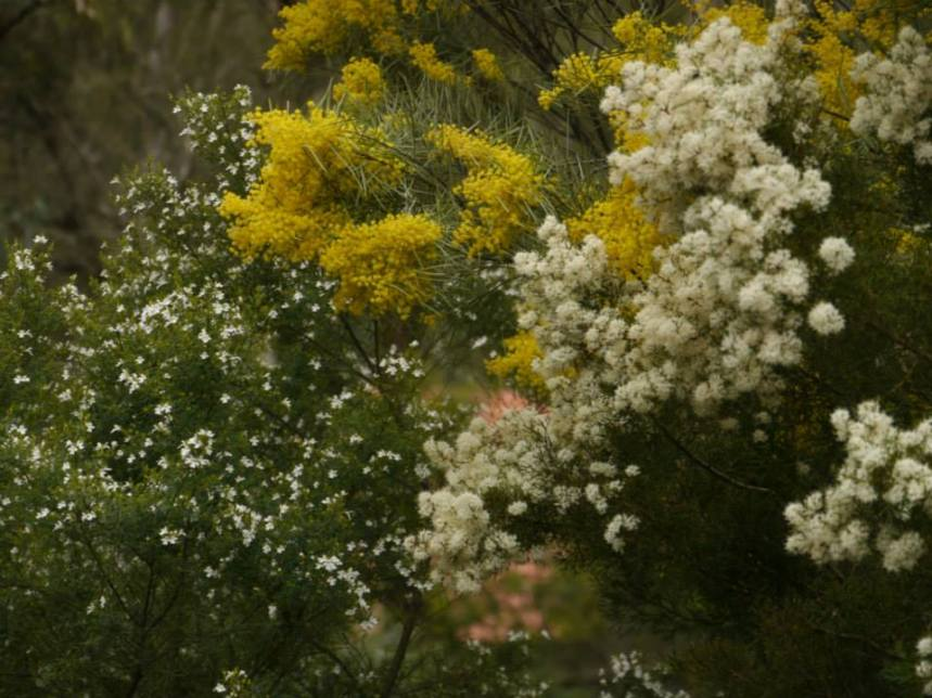 Hakea lissocarpha - Photo J. Lulham