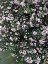 Zieria 'Pink Crystals' - Photo J. Cairns