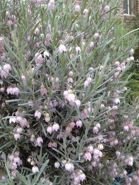 Guichenotia macrantha - Photo J. Cairns