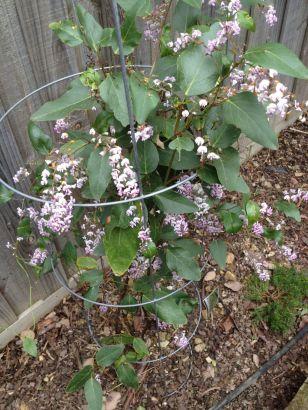 Hardenbergia violaceae - Photo J. Cairns