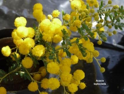 Acacia leptoclada