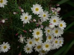 Rhodanthe anthemoides - Photo J. Lulham