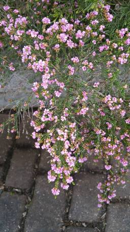 Thryptomene baeckeacea - Photo J. Lulham