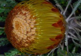Dryandra formosa (Banksia formosa)