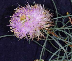 Melaleuca filifolia