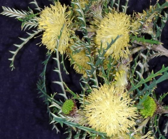 Dryandra polycephala (Banksia polycephala)