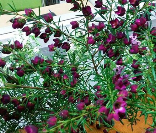 Boronia 'Purple Jared' (Boronia heterophylla X megastigma)