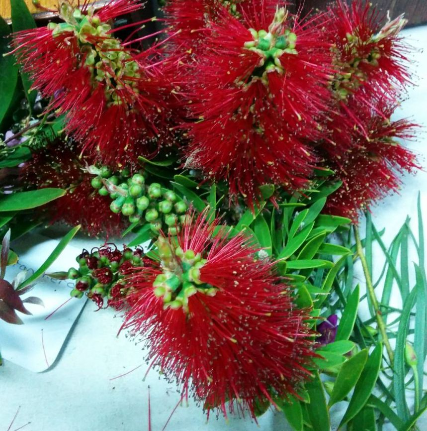 Callistemon 'Adina' (Apr, June, Sept flowerings)