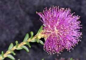 Melaleuca leptospermoides ((<1mx2m, disturbed sites, south west WA)