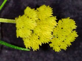 Cassinia leptocephala (northern NSW, showy, large yellow head of flowers)