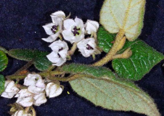 Thomasia solanaceae