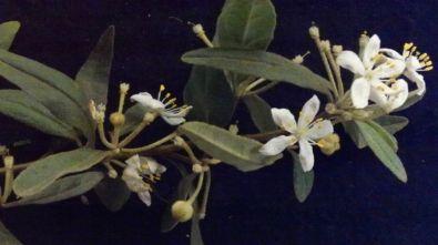 Asterolasia hexapetala (6 petals, Warrumbungles NSW)