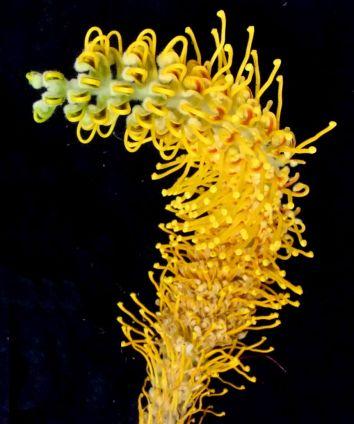 Grevillea eriostachya (Flame grevillea)