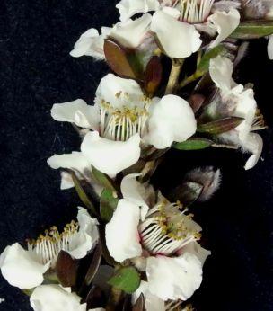 Leptospermum turbinatum (Shiny Tea-tree)