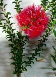 Melaleuca coccinea (Goldfields bottlebrush)