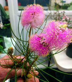 Melaleuca nematophylla (Wiry honey myrtle)