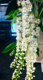 Quintinia verdonii (Grey Possumwood)