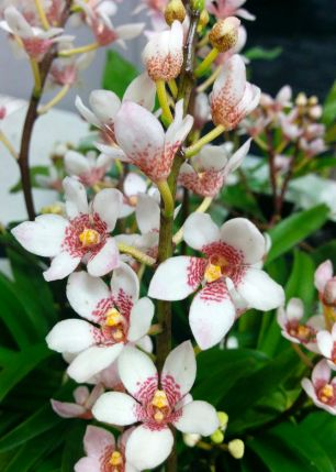 Sarcochilus hybrid - 'Rachel Princess' x 'Hot Ice Richport' ?
