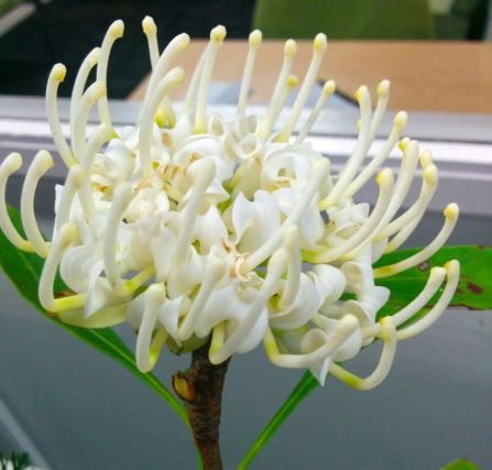 Telopea speciosissima (White Waratah)