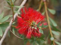 Melaleuca macronychia