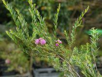 Melaleuca thymifolia