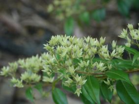 Backhousia anisata