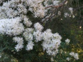Melaleuca linariifolia (Snow in Summer)