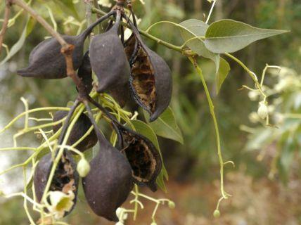 Brachychiton populneus (Kurrajong) seed pods
