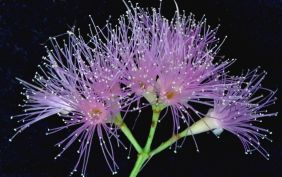Syzygium luehmannii x?