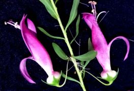 Eremophila maculata