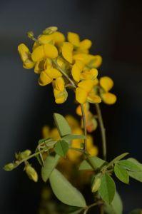 Goodia lotifolia var pubescens