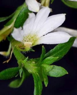 Scaevola sp. (white)