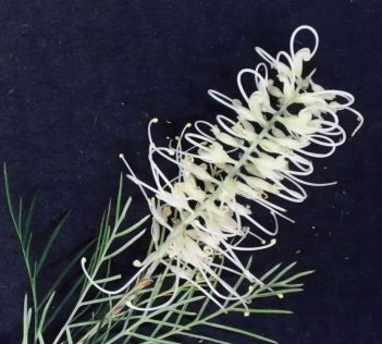Grevillea 'Ivory Whip'