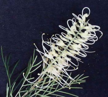 Grevillea 'Ivory Whip'