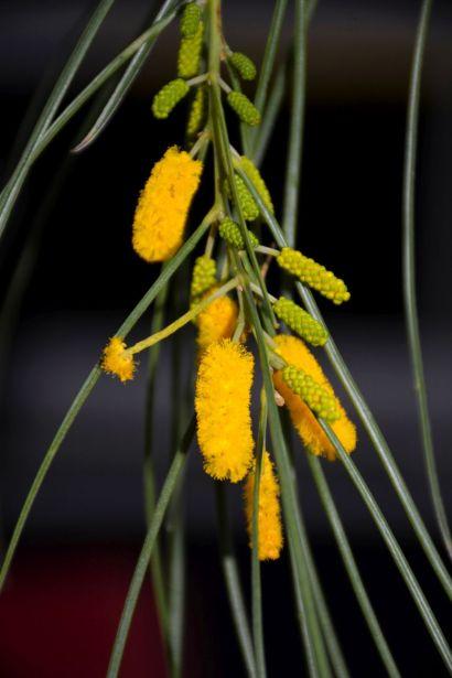 Acacia jibberdingensis