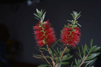 Callistemon citrinus form